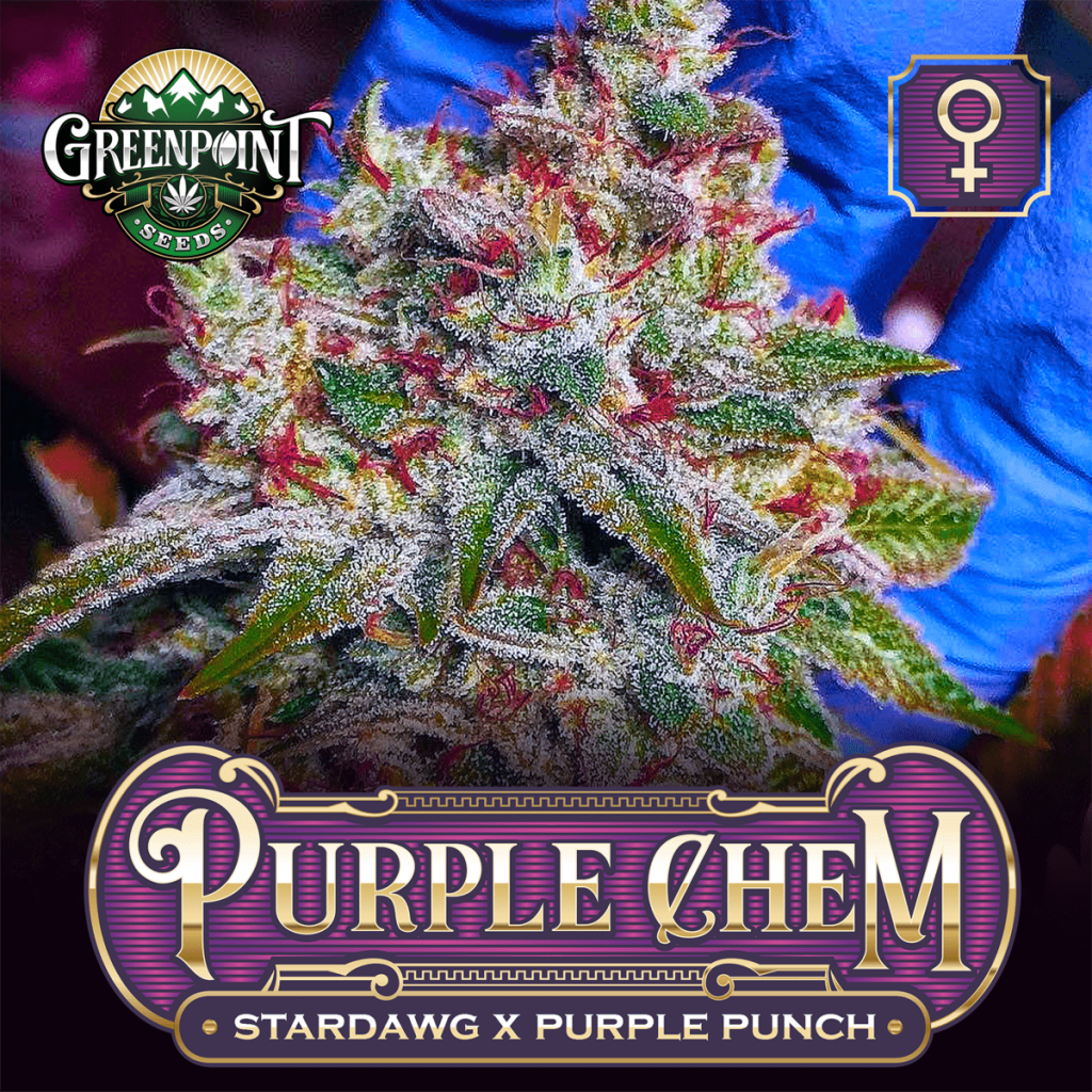 Purple Chem Feminized Seeds - Stardawg x Purple Punch