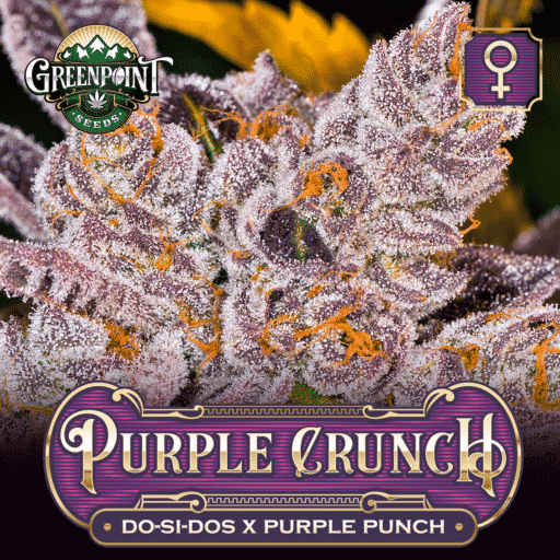 Do-Si-Dos x Purple Punch Feminized Cannabis Seeds