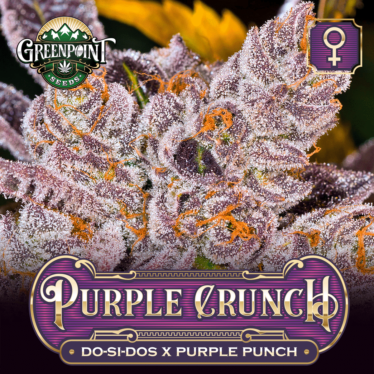 Do-Si-Dos x Purple Punch Feminized Cannabis Seeds