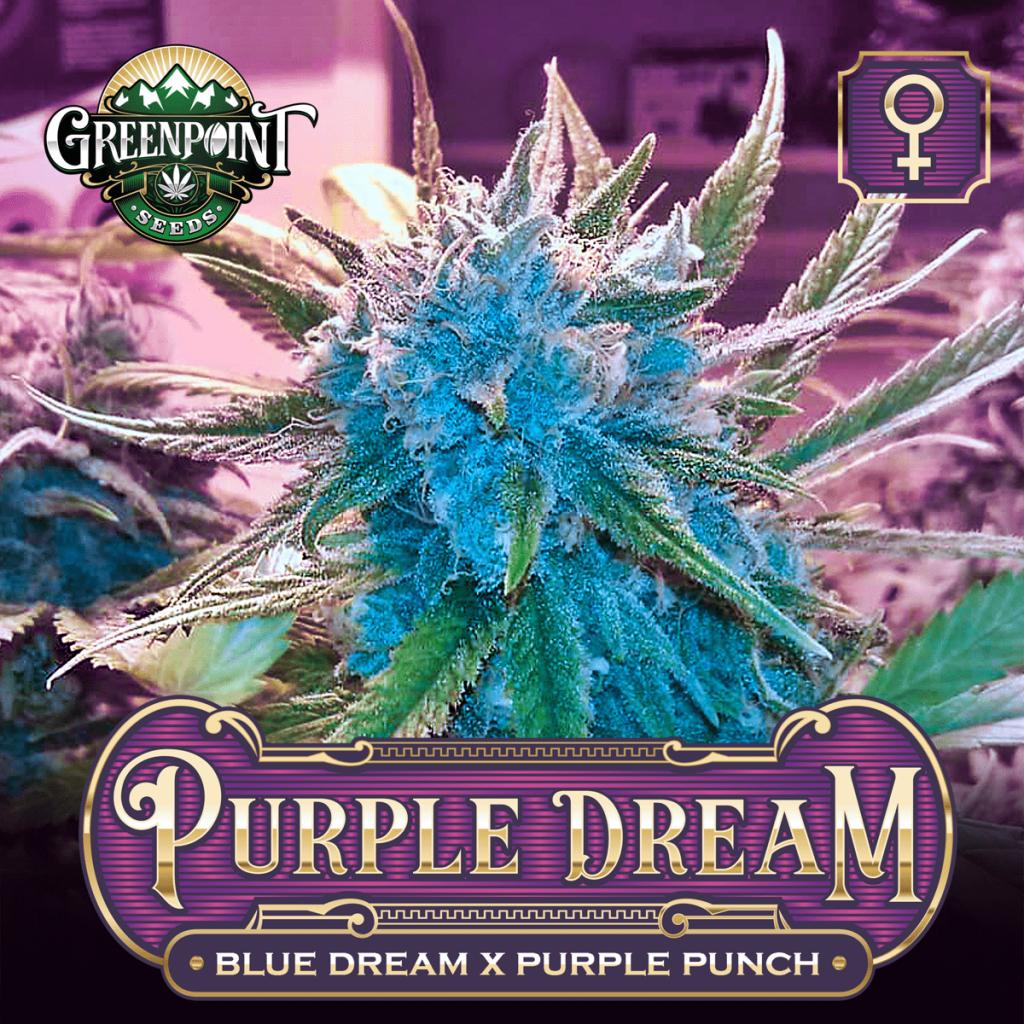 Purple Dream - Blue Dream x Purple Punch Feminized Cannabis Seeds