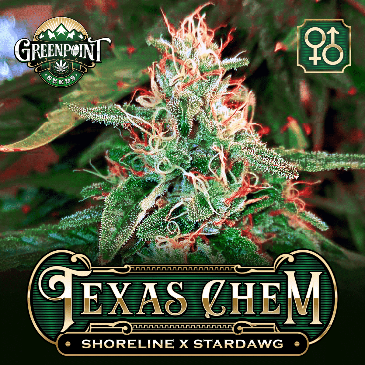 Shoreline OG x Stardawg Cannabis Seeds - Texas Chem Marijuana Strain - Greenpoint Seed Bank