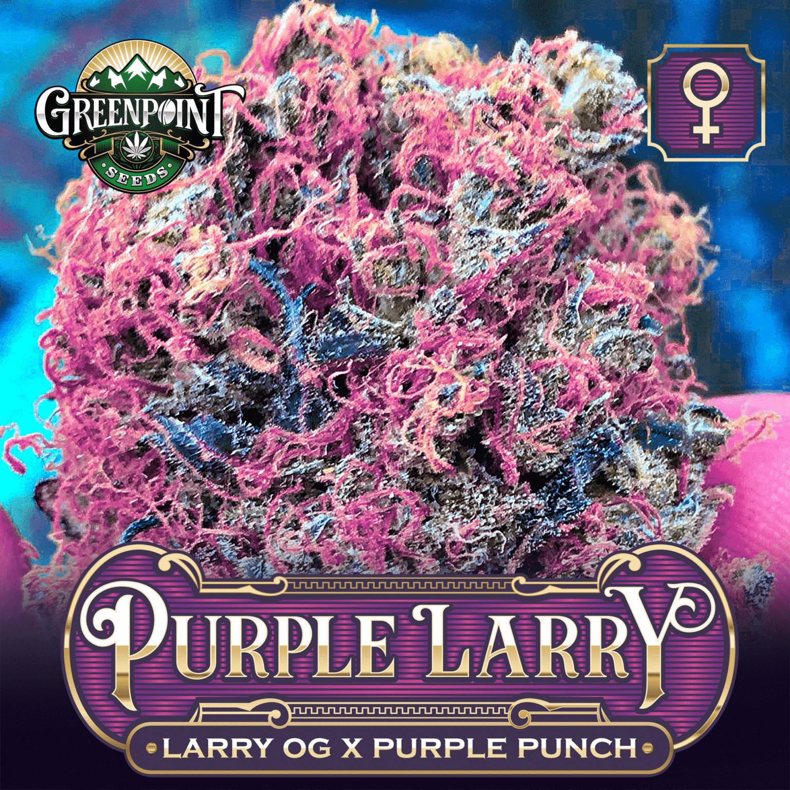 Purple Larry Feminized Cannabis - Larry OG x Purple Punch Marijuana Seeds