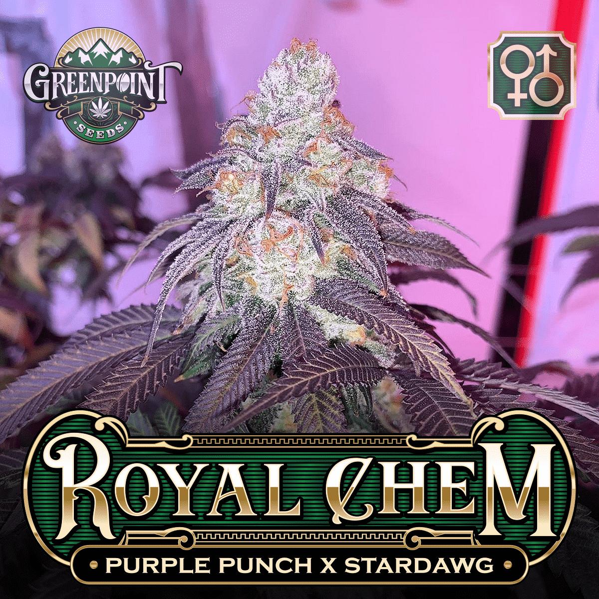 Purple Punch x Stardawg - Royal Chem Regular Cannabis Seeds - Greenpoint Seeds