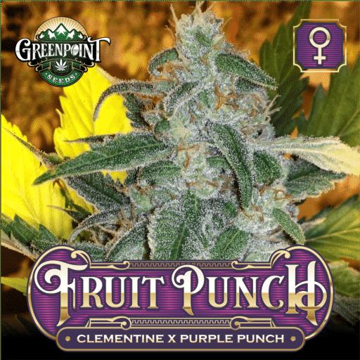 Clementine x Purple Punch - Fruit Punch Feminized Cannabis Seeds