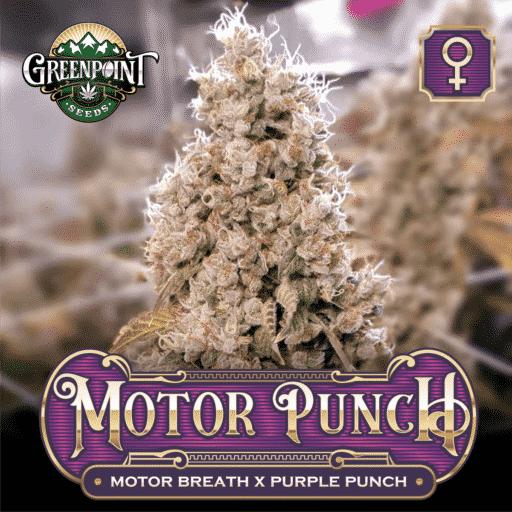 Motor Breath x Purple Punch - Motor Punch Feminized Cannabis Seeds