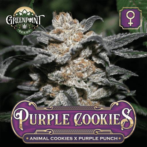 Animal Cookies x Purple Punch - Purple Cookies Feminized Cannabis Seeds