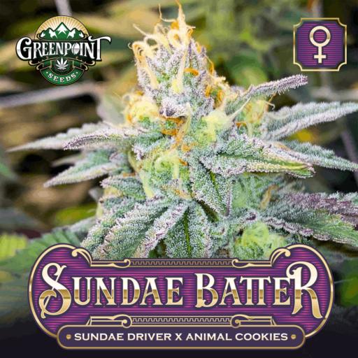 Sundae Batter Feminized Cannabis Seeds - Sundae Driver x Animal Cookies