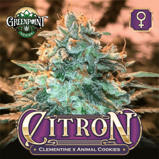 Citron Feminized Cannabis Seeds - Clementine x Animal Cookies - Greenpoint Seeds