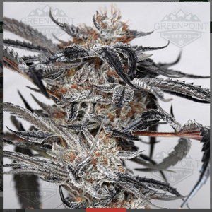 doc holiday cannabis seeds RESIZED