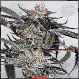 doc holiday cannabis seeds ORIGINAL